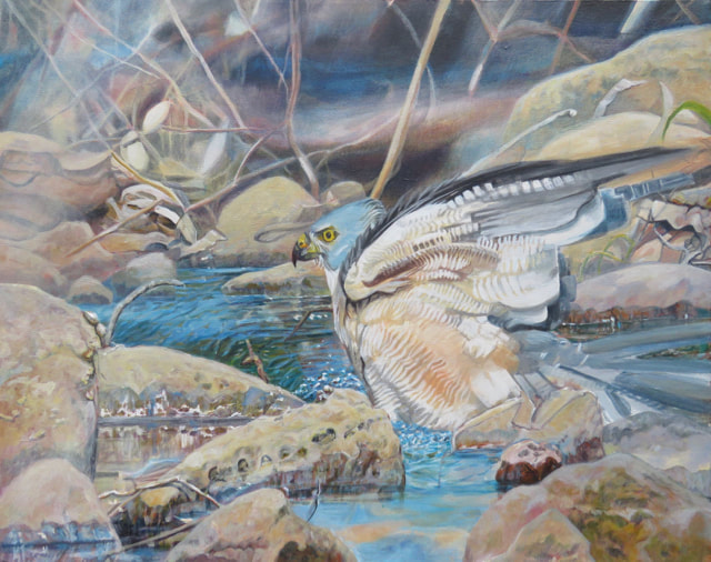 Pam Schultz, artist, captured this rare scene of a Brown Goshawk bathing at Wollogorang Station, NT. This painting was a FINALIST at the prestigious Holmes Art Prize for Excellence in Realistic Australian Bird Art in 2019.