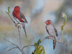 A painting of White-bellied crimson finches, an Australian endangered bird